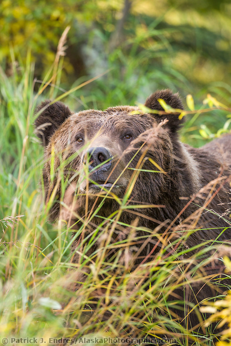 Brown bear peers through sedge grass, Katmai National Park, Alaska.