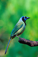 Green Jay (Cyanocorax yncas), Texas.