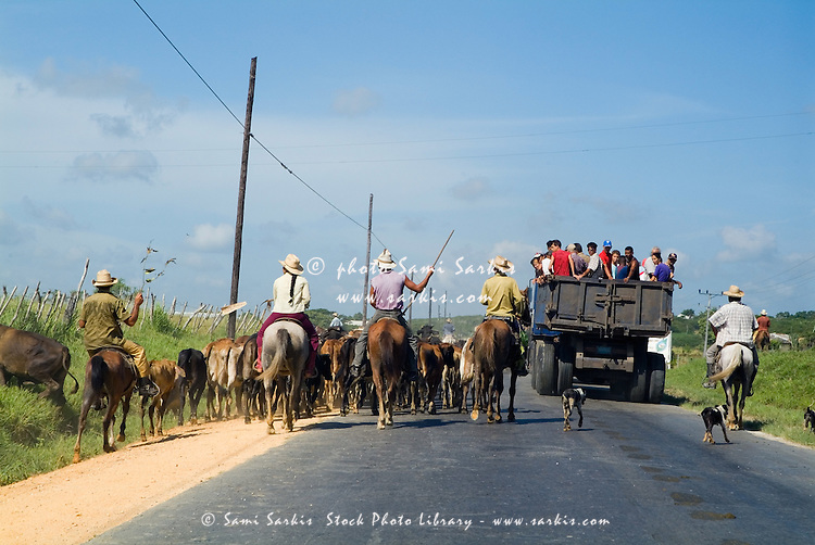 Cowboys herding cattle while following a public transport truck on the road in Cuba.