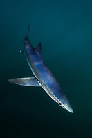 Blue shark Prionace glauca La Jolla, Southern California, USA, Pacific Ocean