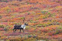 Bull caribou walks across the autumn colored tundra in Denali National Park.