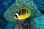 Moorea, French Polynesia; Raccoon Butterflyfish (Chaetodon lunula), solitary, in pairs or aggregations, found on lagoons and outer reefs to 30 meters, in the Indo-Pacific Ocean region, E. Africa to Indonesia, Micronesia, Hawaii and Galapagos. S.W. Japan to N.W. & E. Australia, to 21 cm , Copyright © Matthew Meier, matthewmeierphoto.com All Rights Reserved