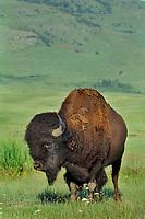 Bison bull (Bison bison).  Western U.S., summer.