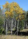 Aspen tree disambiguation, Aspen is a common name for Tree of the Salicaceae family. Populus poplar genus, White Poplar distinguished by round leaf on mature trees, Wyoming, Wyoming is a state in Western United States, Eastern Rocky Mountains, High Plains, least populous state, Cheyenne, Ywllowstone National Park, Grand Teton National Park, Devils Tower, Fossil Butte, Oregon Trail, Pony Express, erution of geyser in yellowstone, Crow, Arapaho, Lakota, Shoshone, Fine Art Photography by Ron Bennett, Fine Art, Fine Art photo, Art Photography, Copyright RonBennettPhotography.com ©