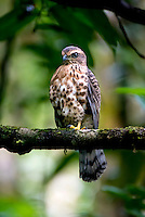 Besra (Accipiter virgatus) is a bird of prey in the family Accipitridae. Sinharaja Forest Reserve - Sri Lanka.