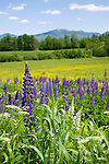 Colorful Lupines Blooming in Meadow with View of Mt Lafayette in White Mountains of New Hampshire