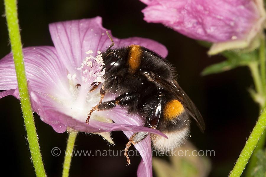 Dunkle Erdhummel, Bombus terrestris, beim Blütenbesuch auf Malve, Nektarsuche, Bestäubung, buff-tailed bumble bee