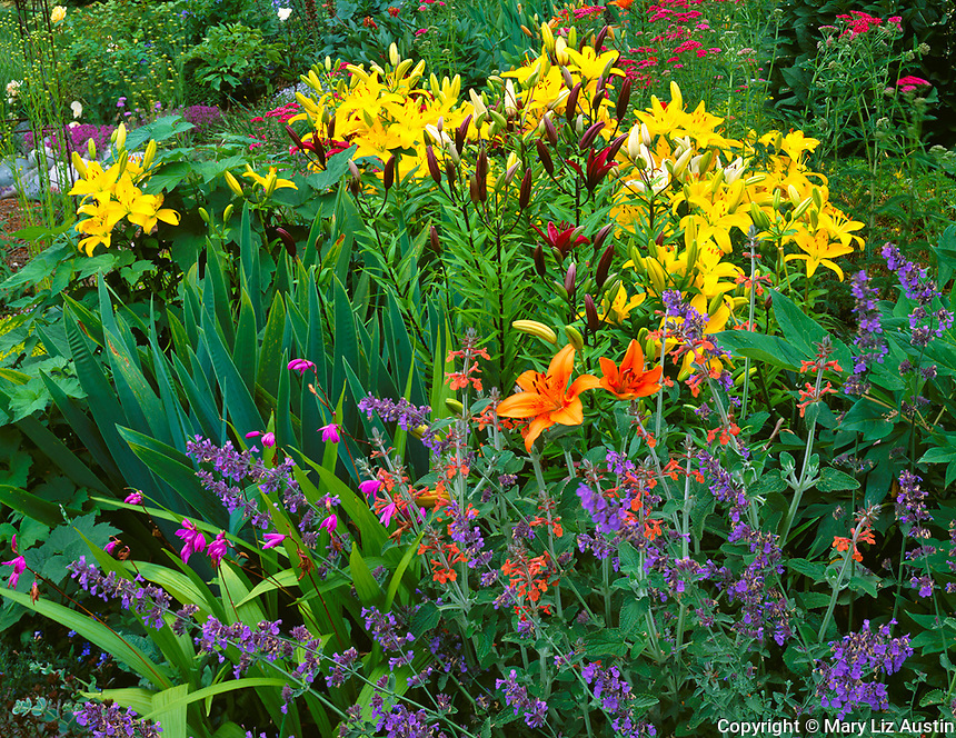 Vashon Island, WA<br /> Northwest summer garden of catmint, salvia, and a colorful variety of lilies