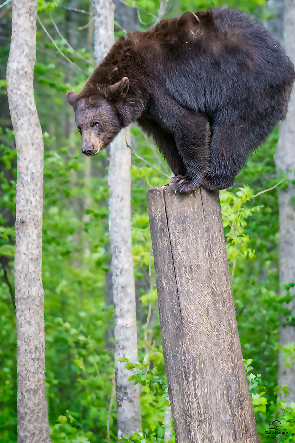 Black Bear (Ursus americanus) adult puts on an acrobatic show.  Very agile and with excellent balance, the bird food stashed on the top of this tree stump never had a chance.  The bear seemed to enjoy the challenge - and posing for the photographers.