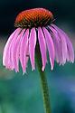 Echinacea (Echinacea purpurea) Fam. Aster. Medicinal herb from North America.