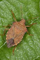Waldwächter, Arma custos, dock leaf bug, dock leaf-bug, Baumwanze, Baumwanzen, Pentatomidae