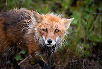 A red fox makes its way back to the den after hunting for food on Alaska's north slope.