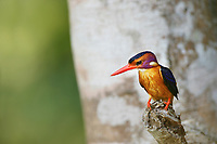 Pygmy Kingfisher, Queen Elizabeth National Forest, Uganda, East Africa