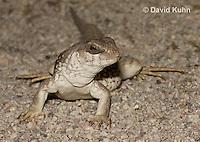 0611-1002  Desert Iguana (Mojave Desert), Dipsosaurus dorsalis  © David Kuhn/Dwight Kuhn Photography