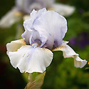 Pale blue intermediate bearded Iris 'June Prom', late May.