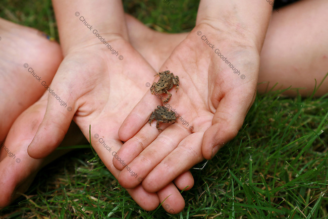 Photo of a Boy collecting a pair of cute Baby Toads in his hands.