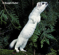 MA28-141z  Short-Tailed Weasel - ermine exploring forest for prey in winter - Mustela erminea