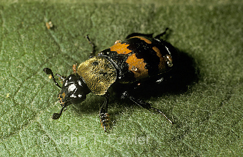 Carrion beetle  Nicrophorus tomentosus