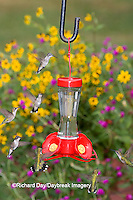 01162-12610 Ruby-throated Hummingbirds (Archilochus colubris) at feeder near flower garden,  Marion Co.  IL