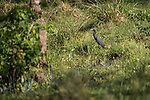 Brazoria County, Damon, Texas; a Little Blue Heron foraging for food at the edge of the slough