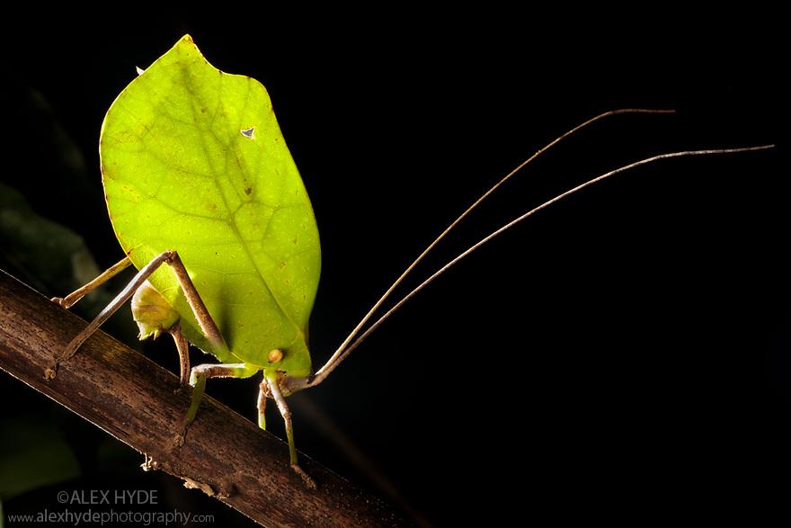 Leaf-mimicking Katydid (Tettigoniidae) female ovipositing into palm stem at night. Manu Biosphere Reserve, Amazonia, Peru. November.