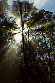 Amazon Basin, Brazil. Rainforest trees with the early morning light filtering through.