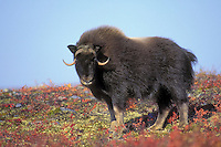 Young muskox (Ovibos moscchatus) on arctic tundra with early fall color, Northwest Territories, Canada.