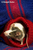 MU50-003x  Pet Mouse - exploring