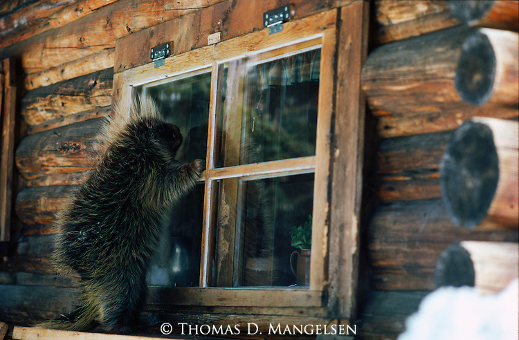A curious porcupine climbs the side of a log cabin in Grand Teton National Park, Wyoming.