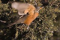 American Robin, Turdus migratorius, female eating juniper tree berries,Yellowstone NP,Wyoming, September 2005