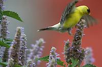 American Goldfinch: Carduelis tristis; on anise hyssop; Agastache foeniculum;  in garden;  Philadelphia, PA