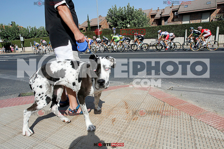 A dog looking the peloton of cyclists during the stage of La Vuelta 2012 between Logroño and Logroño.August 22,2012. (ALTERPHOTOS/Paola Otero) /NortePhoto.com<br />