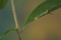Totenkopfschwärmer, Totenkopf-Schwärmer, Raupe frisst an Liguster, Jungraupe, Eiraupe, Räupchen, Acherontia atropos, Death's-head Hawk moth, caterpillar, Le Sphinx tête de mort, Schwärmer, Sphingidae, hawkmoths, hawk moths, sphinx moths, sphinx moth, hawk-moths, hawkmoth