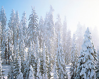 Fresh snow on evergreens on Mt Ashland Oregon