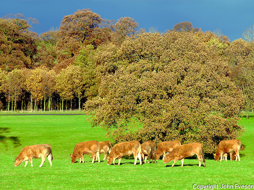 Autumn colours and Limousin cattle...Near Acorn Bank, Penrith, Cumbria.