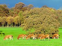 Autumn colours and Limousin cattle...Near Acorn Bank, Penrith, Cumbria.
