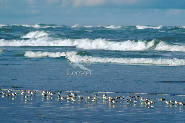 Sanderlings (Calidris alba) and a couple Dunlins along Pacific Oeacan, Spring.  Pacific Northwest.
