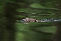 Europäischer Biber, schimmend, Altwelt-Biber, Castor fiber, Eurasian beaver, European beaver, Castor d´Europe