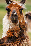 Daily Dose - January 18, 2019 - Llama Love <br />