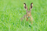Brown Hare (Lepus europaeus), adult in meadow, National Park Lake Neusiedl, Burgenland, Austria, Europe