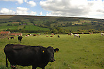 Cows in the green countryside of the Yorkshire moors, Farndale moor, North Yorkshire, England. Sep 2007