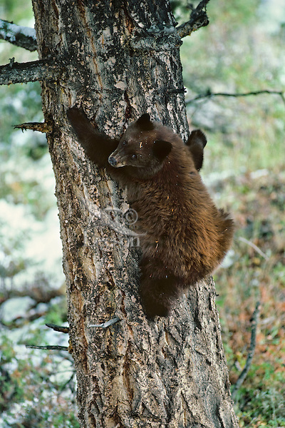 Black Bear (Ursus americanus) cub (cinnamon color phase) seeking refuge in tree.  Western U.S., fall.