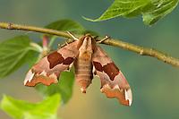 Lindenschwärmer, Linden-Schwärmer, Mimas tiliae, Lime Hawk-moth, Le sphinx du tilleul, Schwärmer, Sphingidae, hawkmoths, hawk moths, sphinx moths