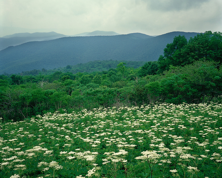 Field of Cow Parsnip (Heracleum lanatum) in bloom at Hazletop Overlook; Shenandoah National Park, VA