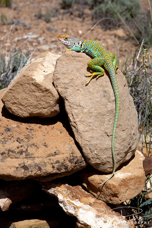 A common collared lizard atop a rock at Chaco Culture National Historic Park in New Mexico.