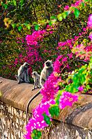 Langur monkeys near Jaipur, Rajasthan, India.