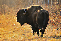 Plains bison (Bison bison) <br /> Riding Mountain National Park<br /> Manitoba<br /> Canada