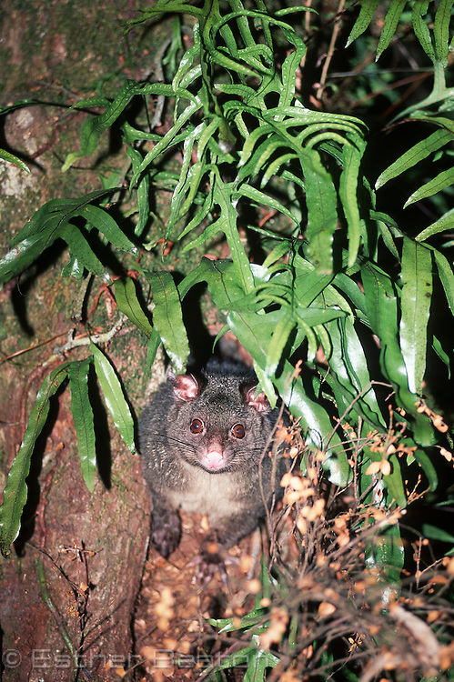 Bobuck or Mountain Brushtail Possum emerging from sleeping den in a rainforest myrtle tree. Central Highlands, Victoria.