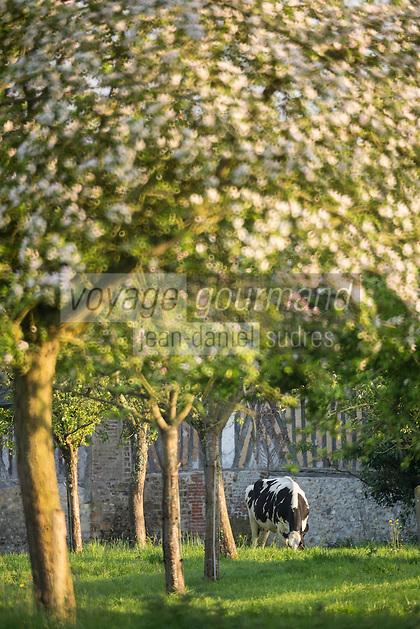 France, Calvados (14), Pays d' Auge, Villerville: Vaches en pâturage et pommiers en fleurs // France, Calvados, Pays d' Auge, Villerville: Grazing cows and flowering apple trees