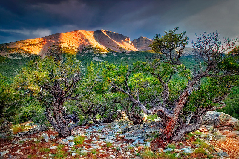 Mountain Mahogeny and Wheeler Peak at sunset. Great Basin National Park, Nevada
